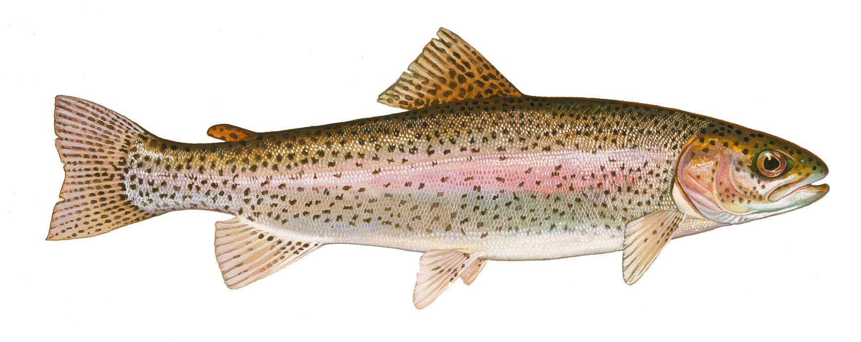 Trout for Trout fish pictures